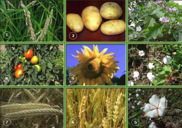 Группы культурных растений. примеры названий культурных растений