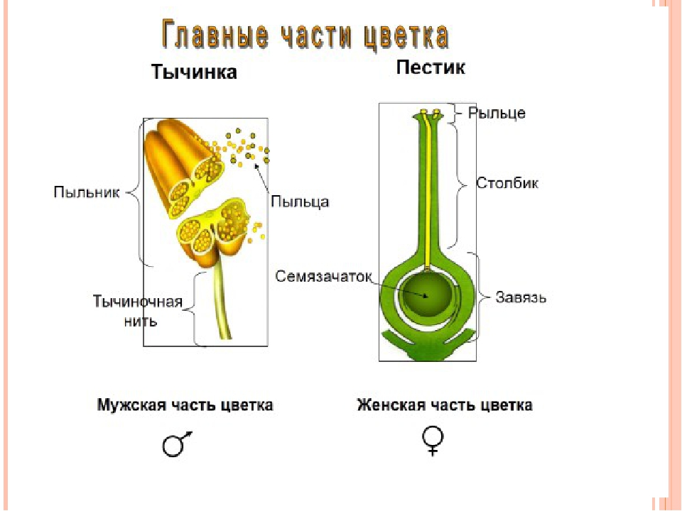 Тычинка и пестик. строение цветка: схема :: syl.ru