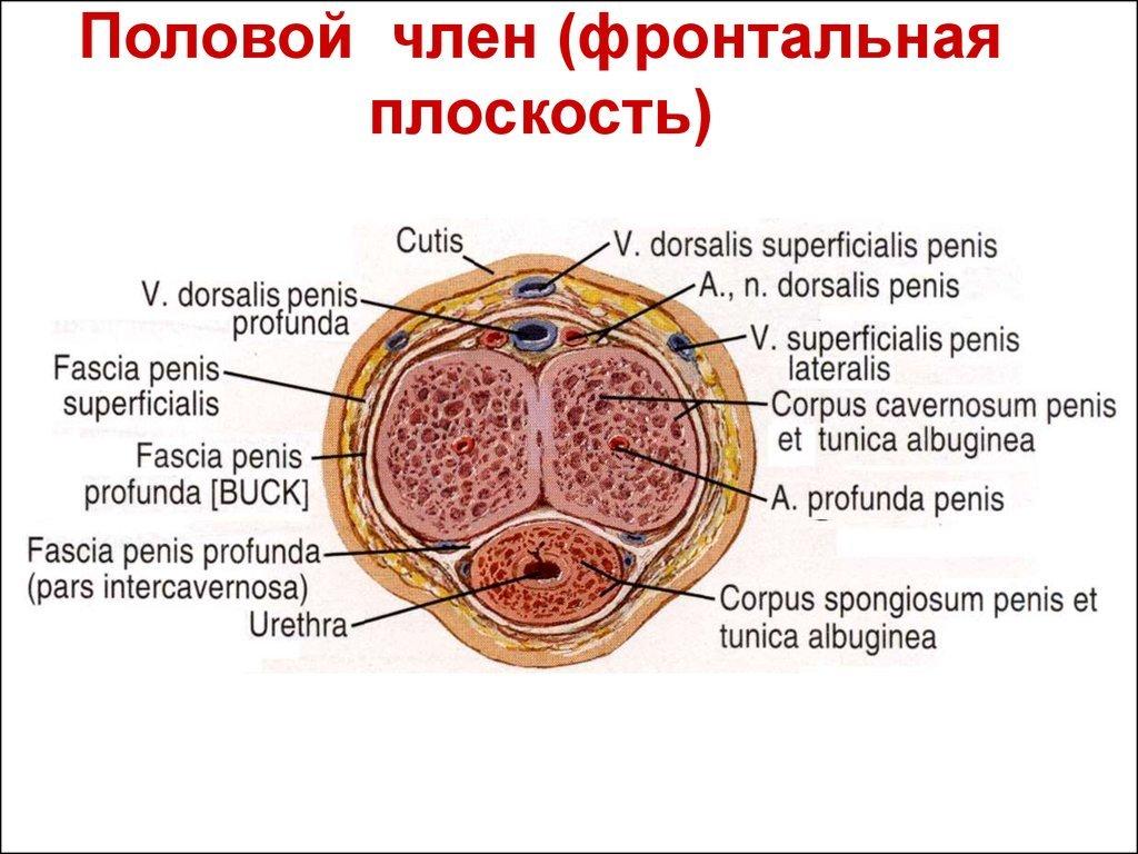 Какие бывают пенисы: разновидности, формы и классификация у мужчин
