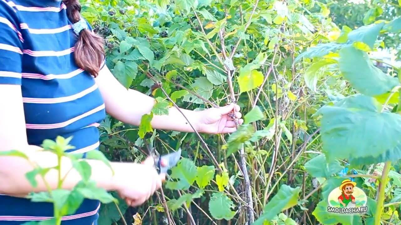 Малиновое дерево – посадка и уход видео необычного растения