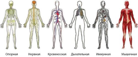 Системы органов человека. органы и системы органов