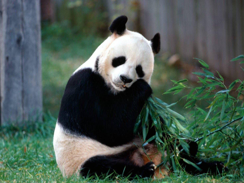 Красная панда: описание животного, среда обитания, сколько живут