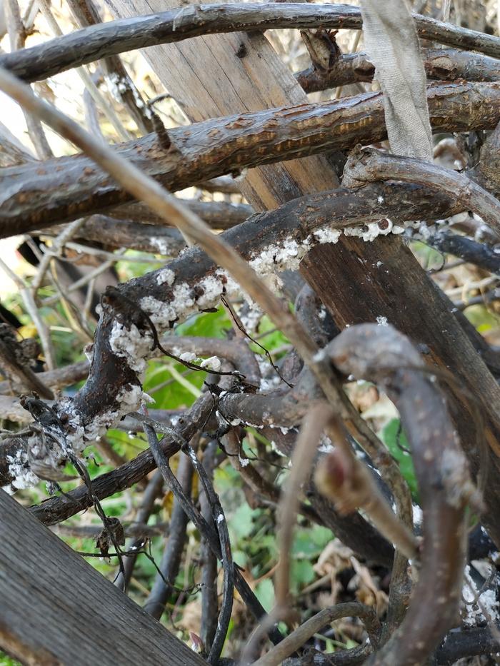 Белый налет на листьях смородины: что делать?
