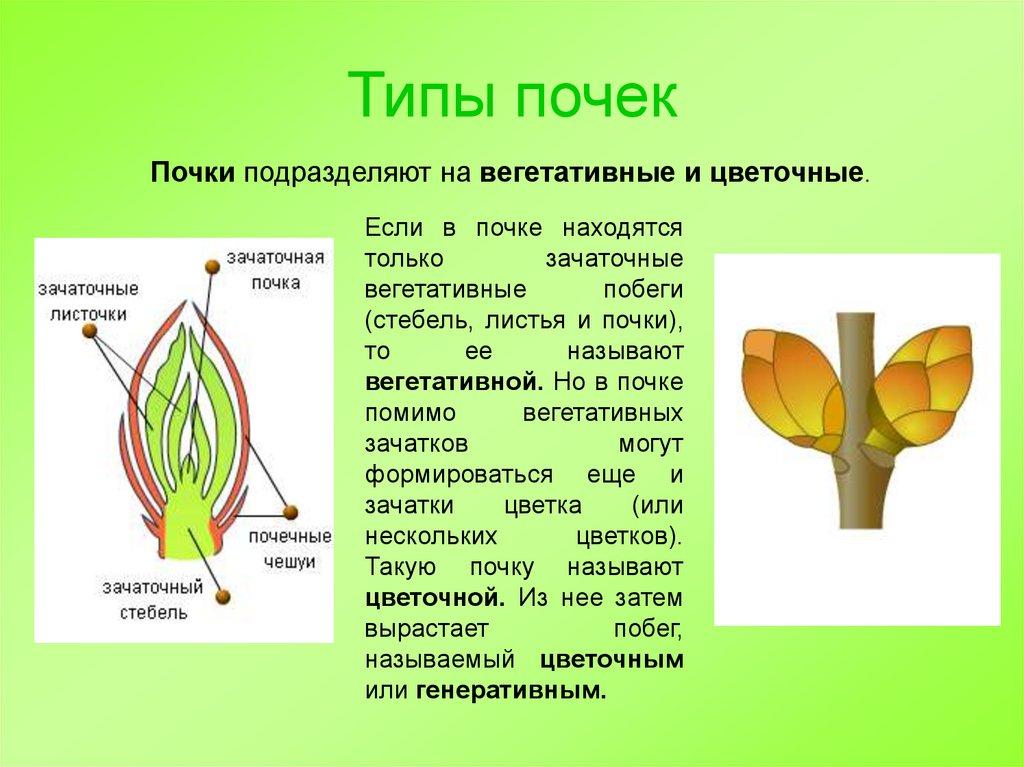 Внутреннее строение и виды: побег, почки и стебель | биология
