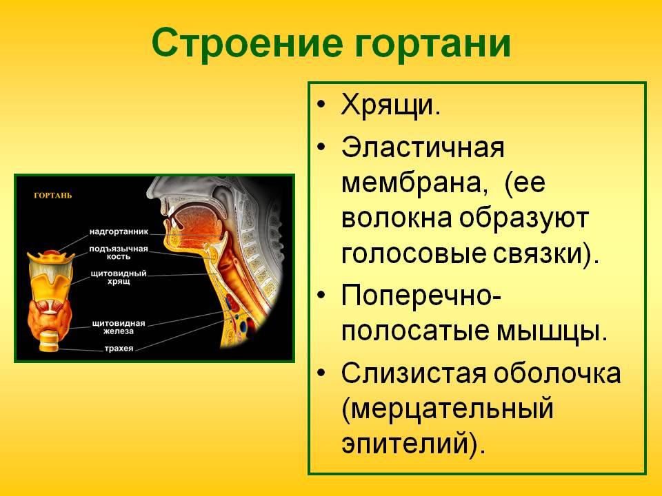 Гортань — википедия с видео // wiki 2