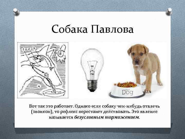 Собака павлова: что это такое, суть экспериментов и опытов, теория обусловливания