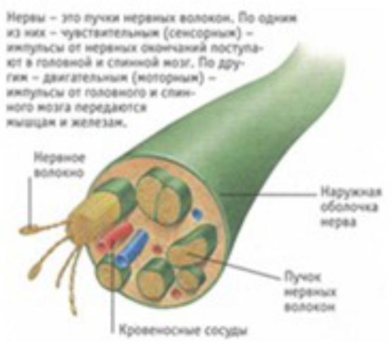 Нерв — википедия. что такое нерв
