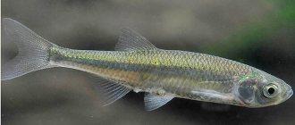 Кета (рыба): состав, калорийность, полезные свойства и вред
