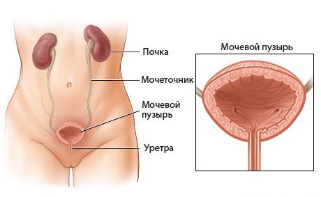 Мочевой пузырь — википедия