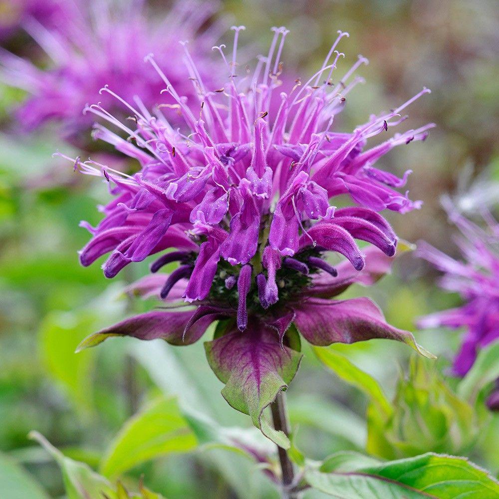 Бергамот – что это за растение, полезные свойства и вред цитруса на ydoo.info