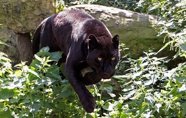 Черная пантера. образ жизни и среда обитания черной пантеры