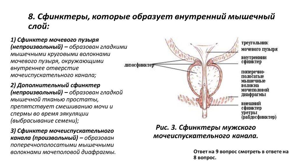Что такое уретра: строение и функции. отличие мужской и женской уретры | здоровье и все для него