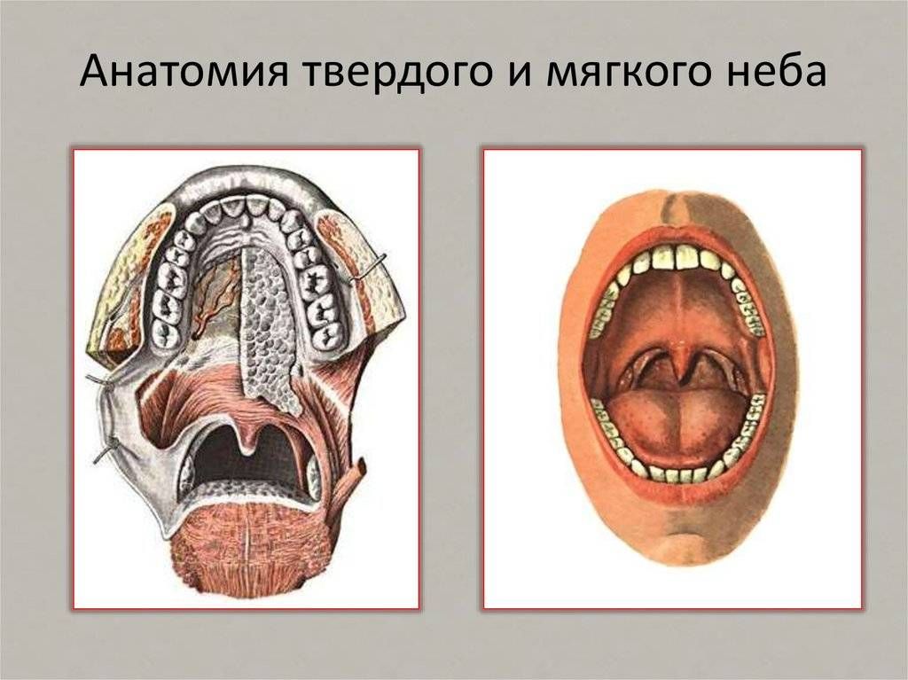 Что такое альвеола. альвеолы легких