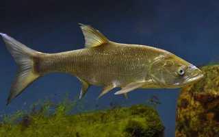 Что такое рыба усач: поведение в природе и кулинарная ценность