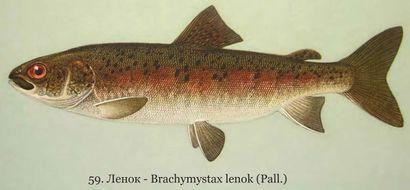 Что такое масляная рыба