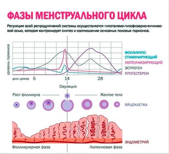 Как рассчитать менструальный цикл?