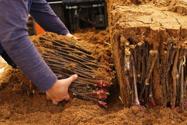 Что такое черенок? размножение растений способом черенкования