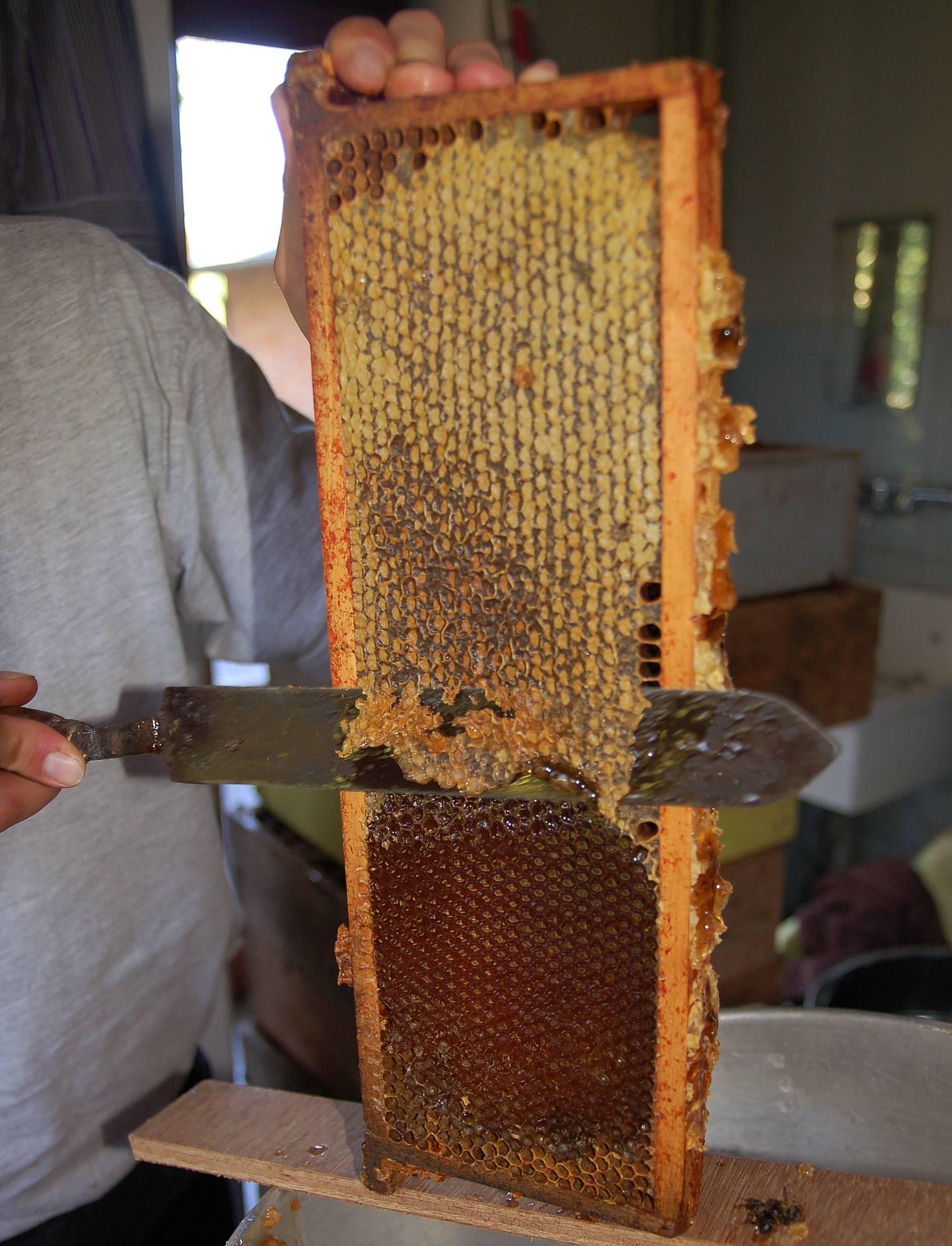 Что такое падевый мед: полезные свойства и отличительные особенности
