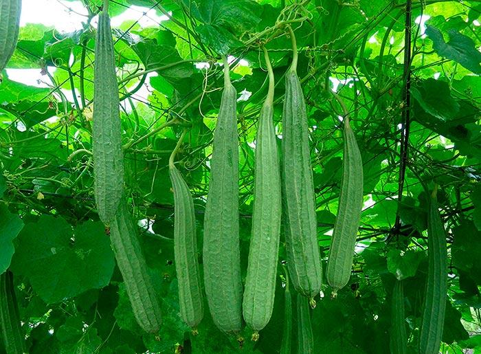 Люффа: растение, выращивание