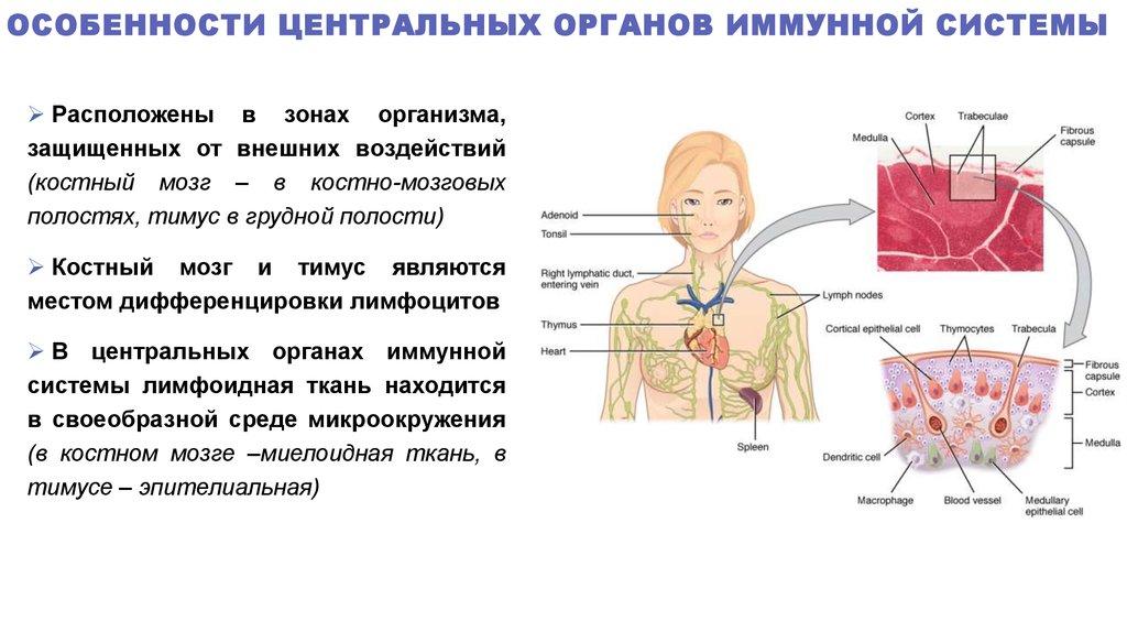 Пассивный иммунитет: описание, функции, виды и особенности.