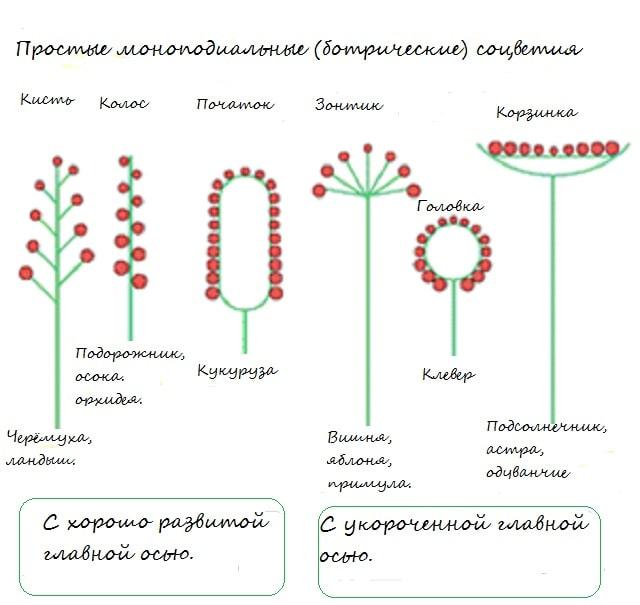 Соцветия: типы соцветий растений