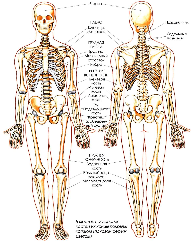Где находится красный и желтый костный мозг у человека: фото и пересадка
