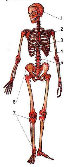 Костный мозг - bone marrow