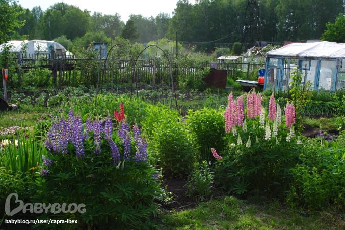 Люпин: описание, фото видов, сортов цветка, видео выращивания растения, посадка и уход в открытом грунте
