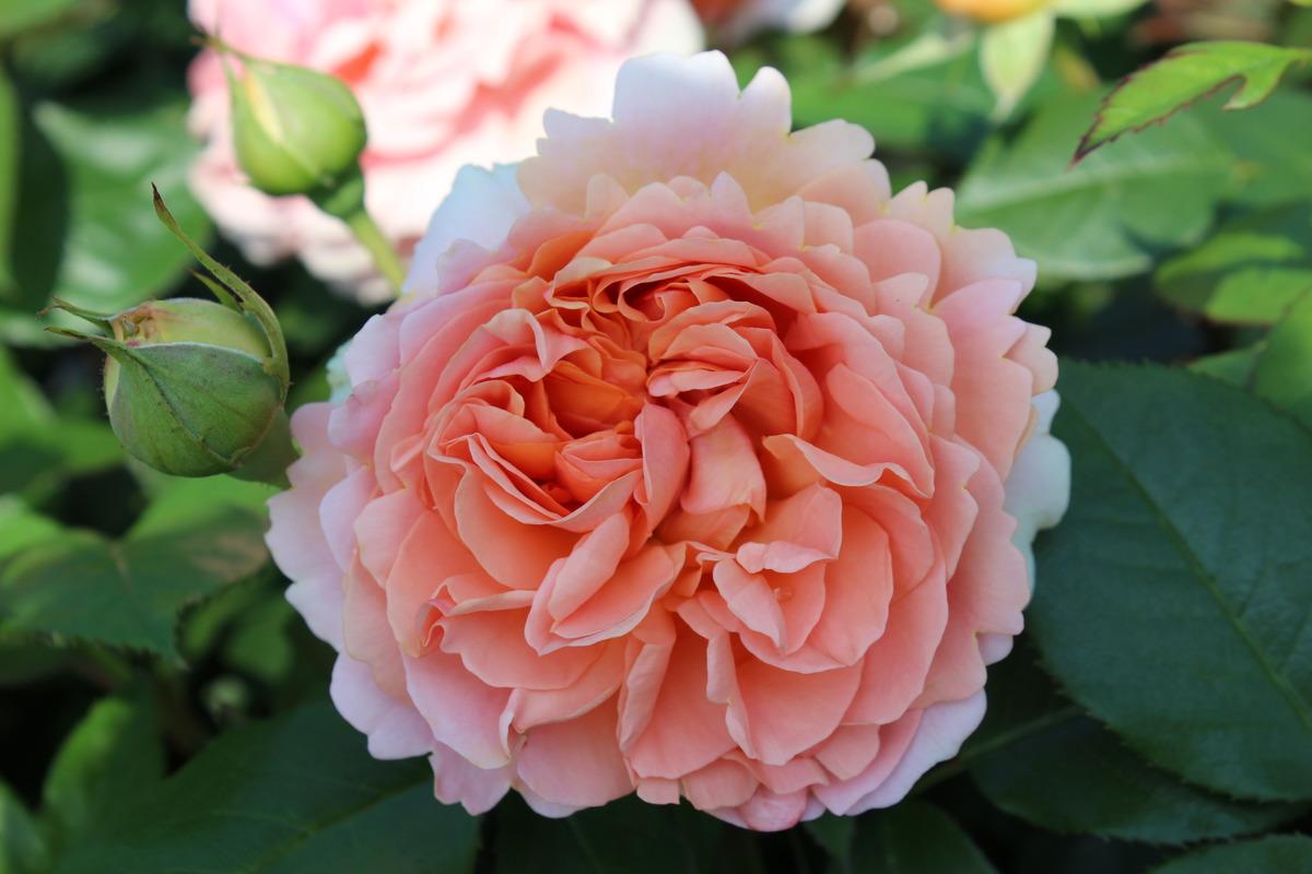 Посадка и уход за розами-шрабами