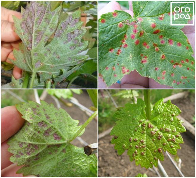 Почему на листьях смородины появились желтые пятна и как оздоровить куст?