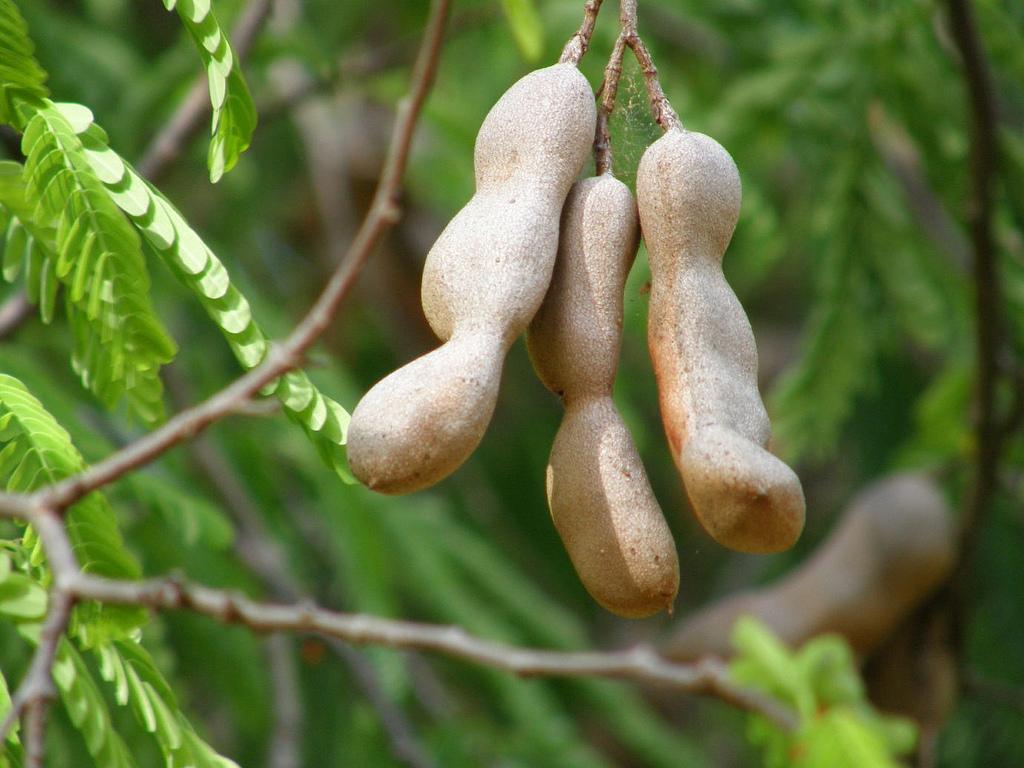 ???? тамаринд [индийский финник] ???? #что это? #польза фрукта #фото