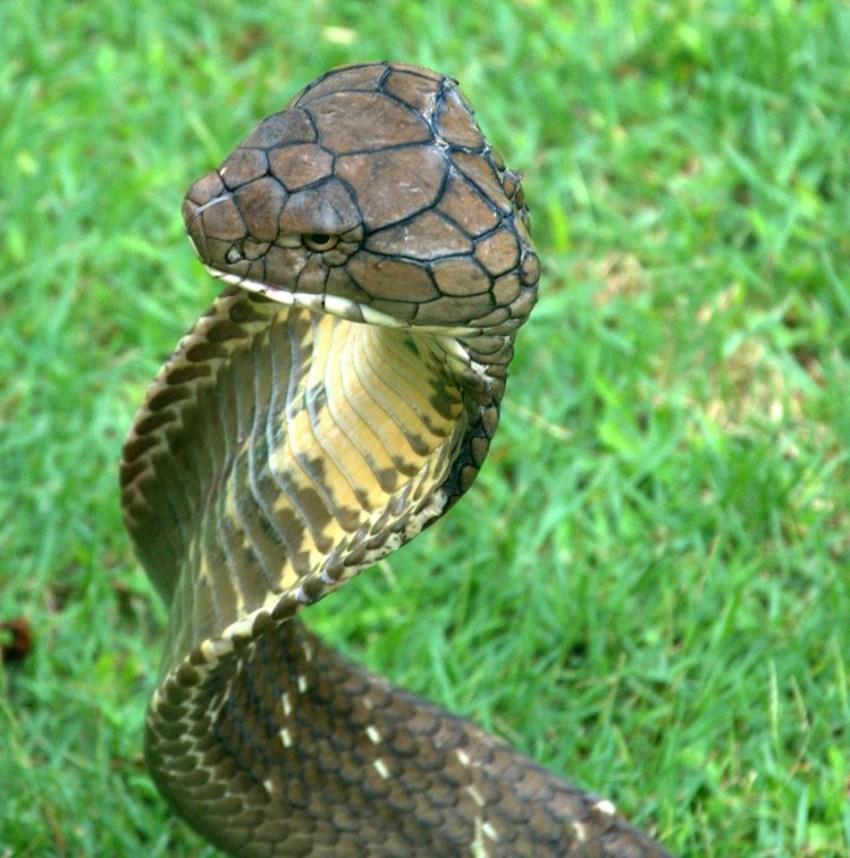 Змеи: особенности и виды змей. ядовиты и неядовитые змеи