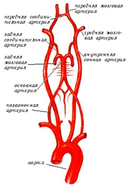 Позвоночная артерия. топография позвоночной артерии. виллизиев (уиллиса) артериальный круг. артериальный круг мозга. виллизиев круг.
