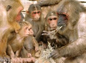 Японский макак – фото, описание, ареал, питание, размножение, враги