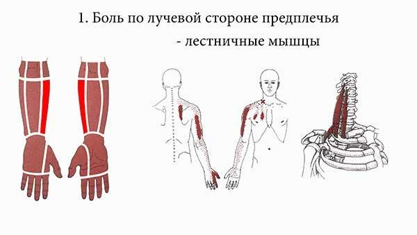 Мышцы предплечья и их функции. анатомия мышц плеча и предплечья :: syl.ru