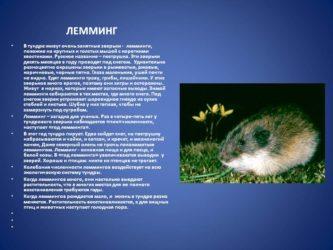 Лемминг (фото): дикий грызун-отшельник