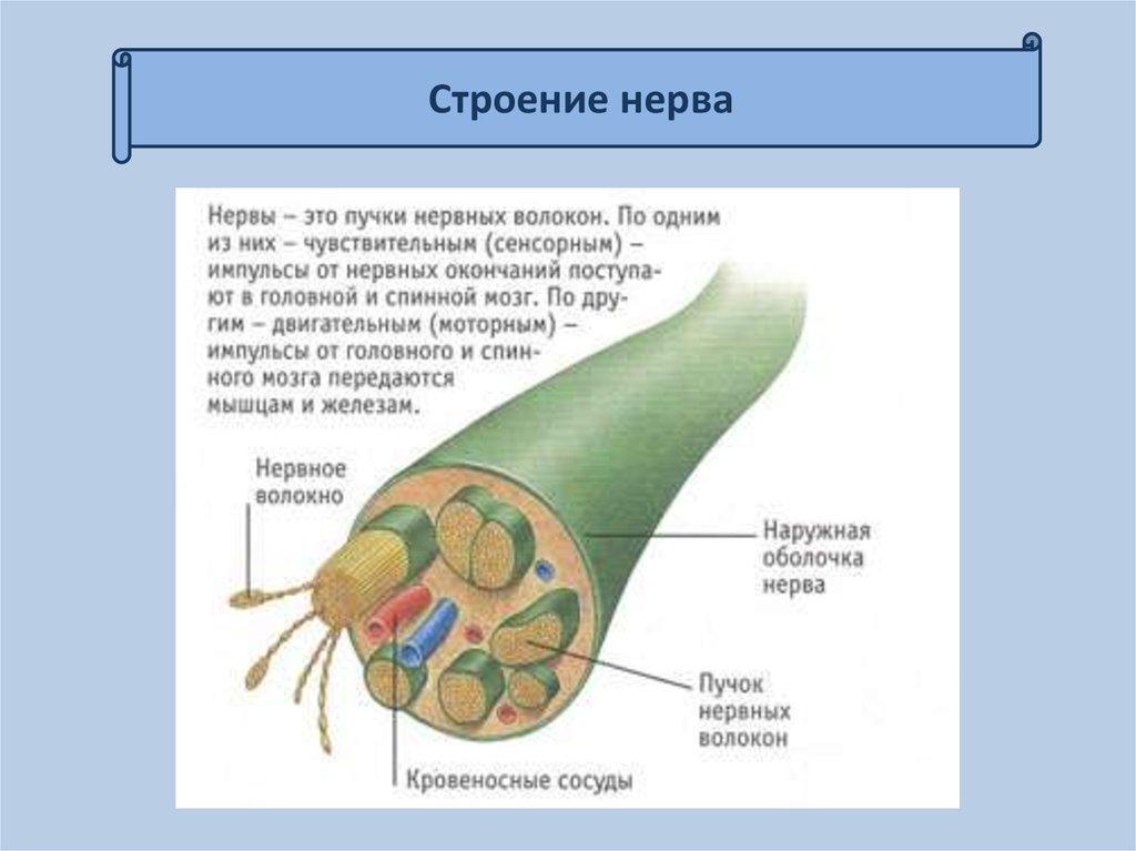 Блуждающий нерв и какие недуги с ним связаны?
