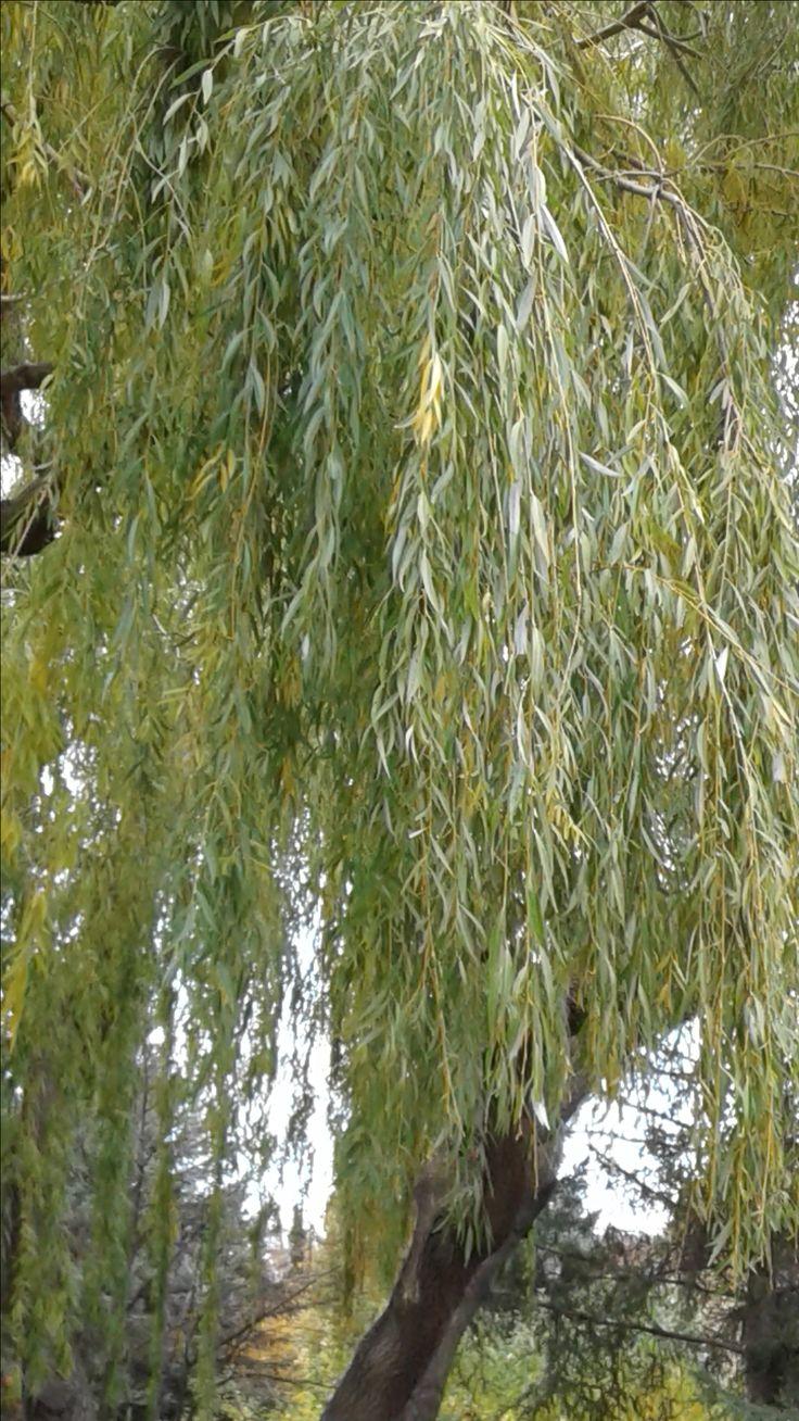Ива белая - фото и описание дерева, выращивание