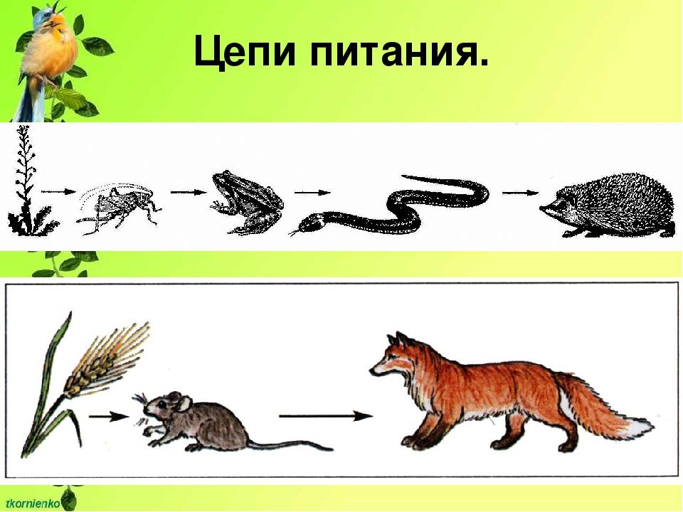 Пищевая цепь: примеры. как образуется пищевая цепь?