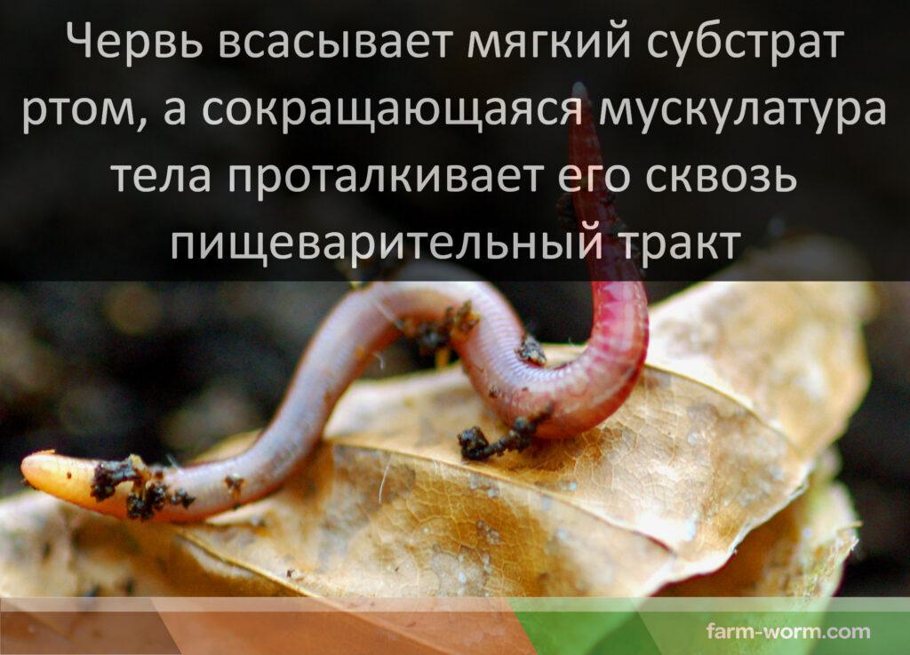 Червяк - это насекомое или нет? типы червяков и особенности, присущие каждому из них