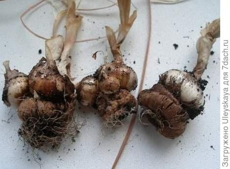 Что такое луковица, кореневище, клубень