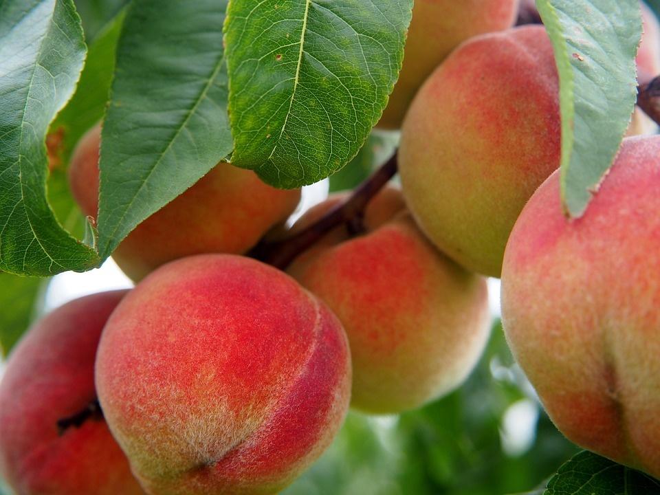 Персик что это? значение слова персик