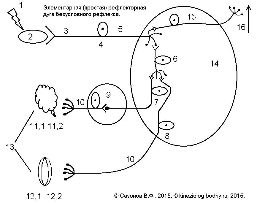 Рефлекторная дуга, схема, строение, из каких нейронов состоит, виды и примеры, последовательность прохождения нервного импульса по рефлекторной дуге, состав простой и сложной дуги