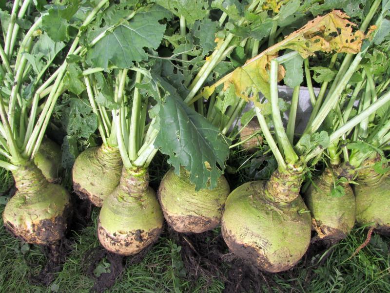 Брюква турнепс: описание полезных свойств овоща, вреда, противопоказаний и рецепты блюд из него; виды и сорта продукта; выращивание, посадка и уход