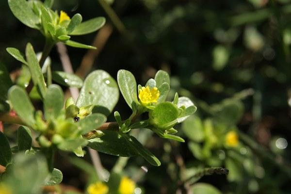 Портулак огородный: лечебные свойства и вред, как выглядит и где растет, рецепты приготовления и применение, как вывести сорняк, выращивание