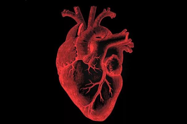 Сердце: строение, функции, заболевания и методы лечения