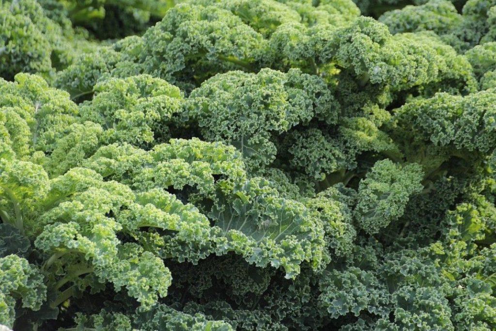 Чудо-капуста кейл: что это такое, полезные свойства и рецепты приготовления - wefitnes
