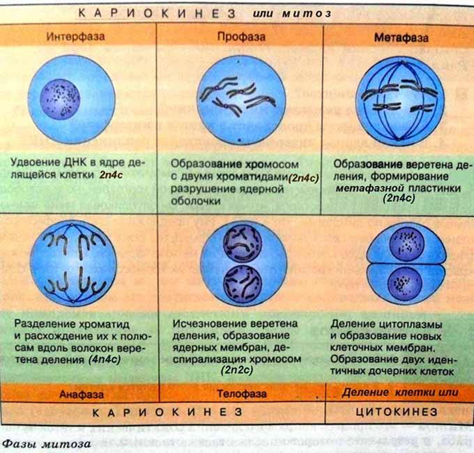 Что такое митоз? биологическое значение процесса