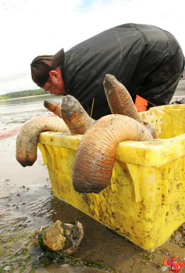 Моллюск гуидак: описание вида с фото