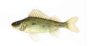 Виды мяса рыб: список названий с описанием полезных свойств   food and health